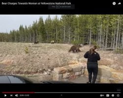 Bear Charges Towards Woman at Yellowstone National Park